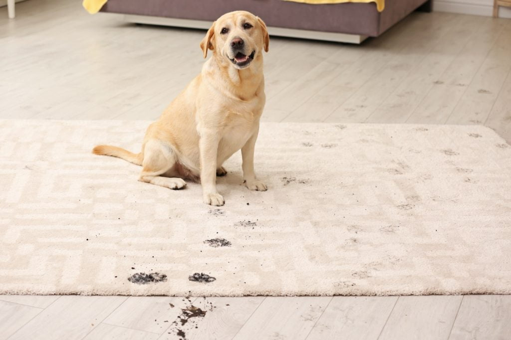 Best Rug Materials in a Home with Pets | Bowling Carpet